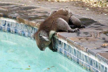 Спасение коалы от жажды