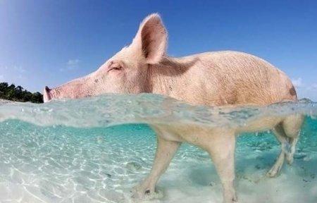 Поросята на Багамских пляжах