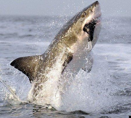 Прыжок белой акулы