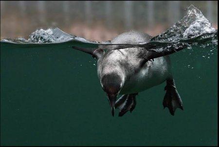 Пингвины – удивительные подводные птицы