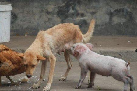 Поросёнок и собака