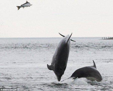 Погоня дельфинов за лососем