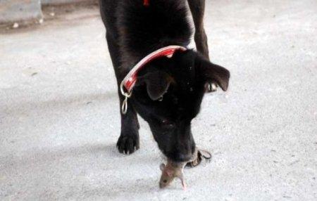 Собака играет с мышкой
