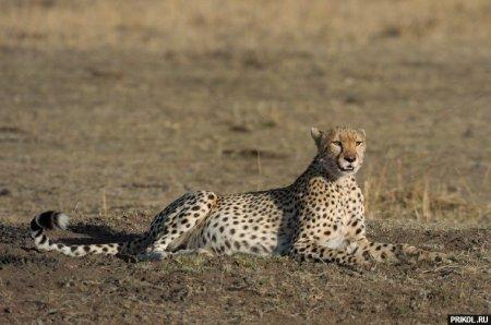 Один день из жизни леопарда