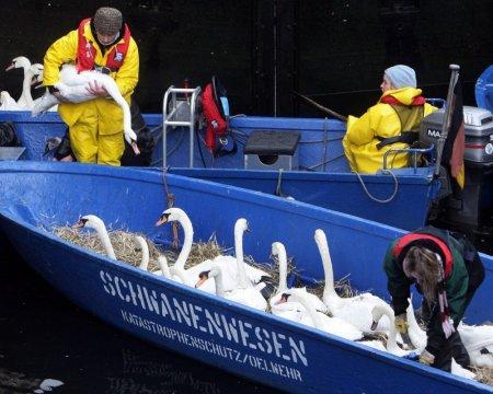 Гамбургские лебеди