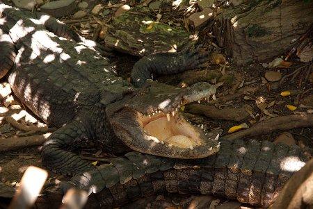 Крокодиловая ферма в Паттайе (Таиланд)