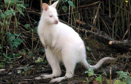 Животные-альбиносы