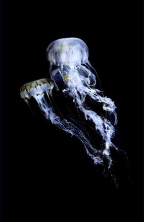 Медузы от Guido Mocafico