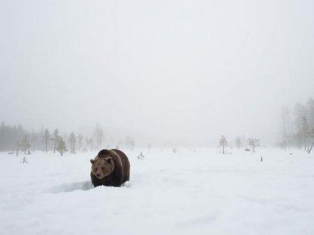 Семья диких медведей