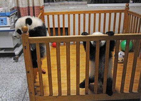 Неудавшийся побег малышей панды