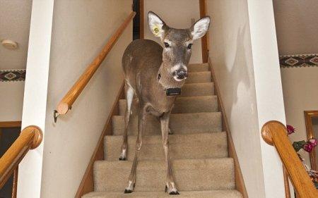 Дилли – домашняя олениха