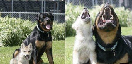 Пёс и маленькая волчица