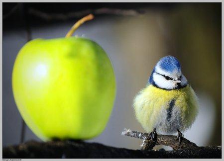 Синица и яблоко