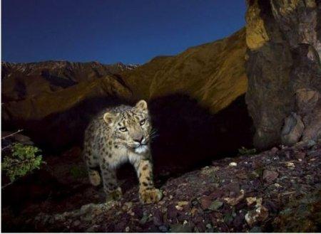 Горный леопард
