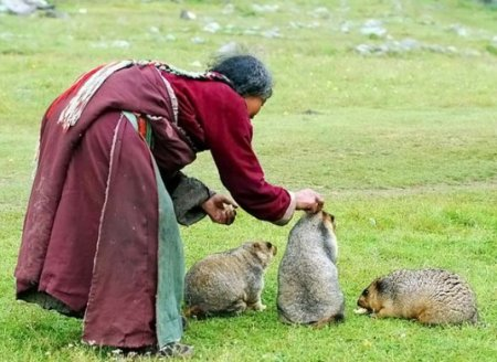 Монгольские сурки - тарбаганы