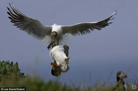 Нападение чайки на тупик