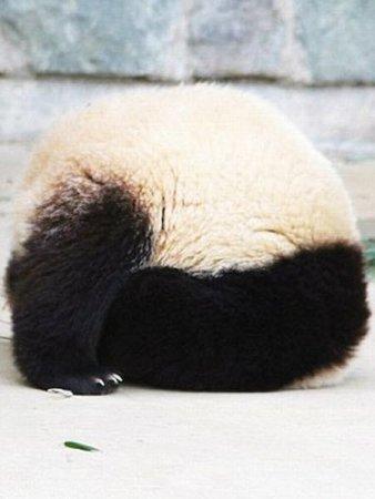 Панда заснула сидя