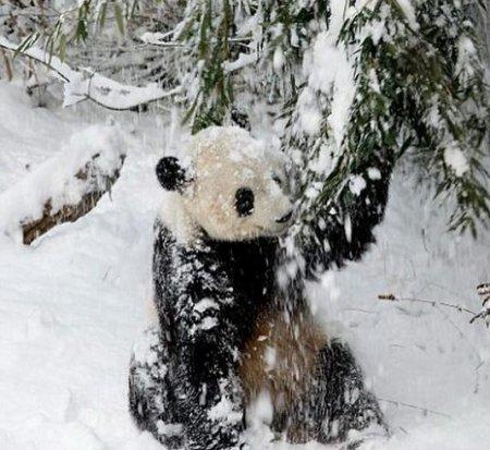 Новый дом для панд