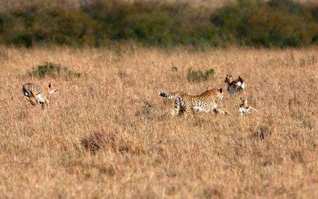 Охота гепардов