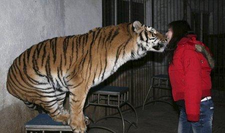 Как укусить тигра за нос