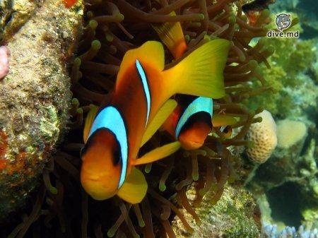 Рыбы-клоуны и анемоны