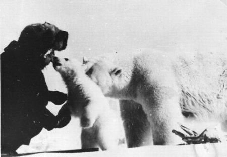 Дружелюбные белые медведи