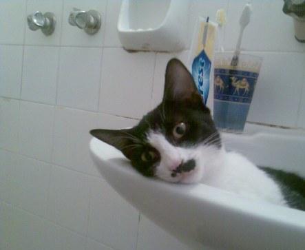 Китлеры - коты, похожие на Гитлера