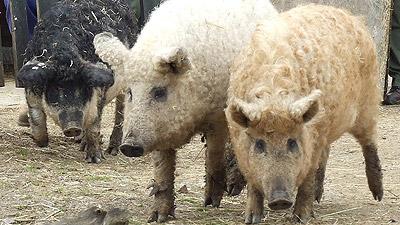 Мангалица - длинношёрстная свинья
