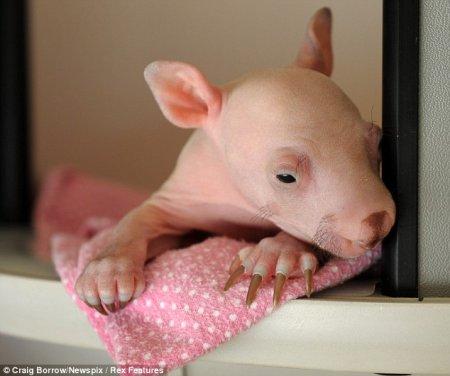 Новорожденный вомбат