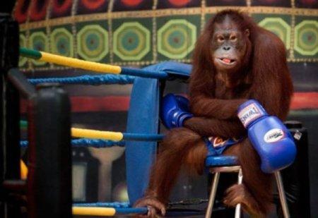 Орангутанги боксеры