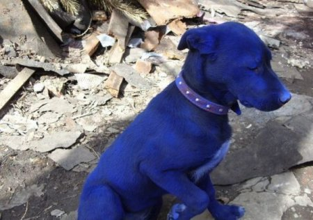 Синяя собака