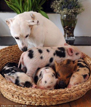 Домашние свинюшки