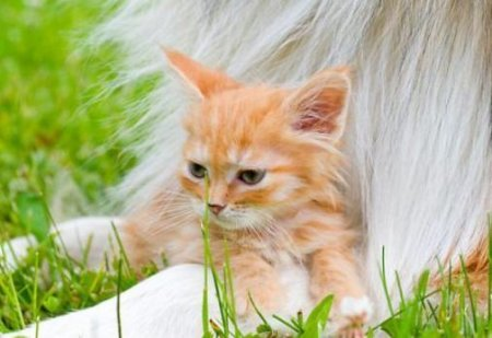 Дружба котёнка и колли
