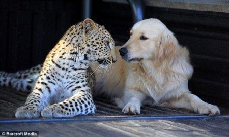 Дружба леопарда и золотистого ретривера
