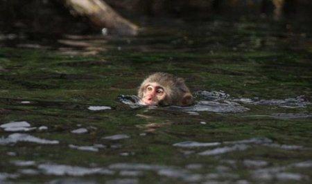 Снежная обезьяна учится плавать