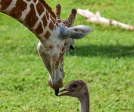 Любовь жирафа и страуса