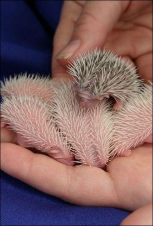 Новорожденные ёжики