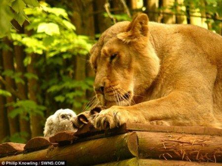 Сова и лев