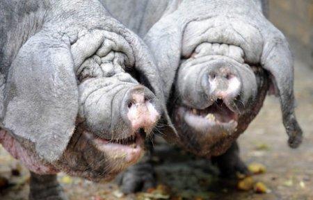 Свинюшки-шарпеи