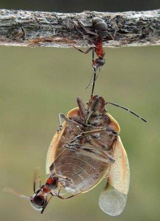 Муравьи - санитары леса