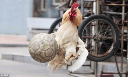 Чемпионат по футболу в курятнике