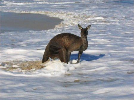 Водоплавающий кенгуру