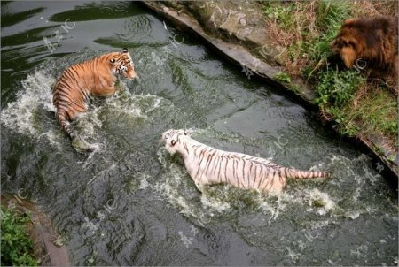 Драка тигров