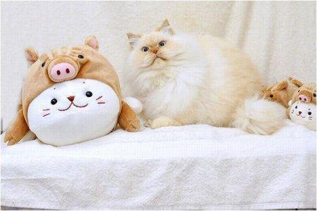 Прикольный гималайский кот