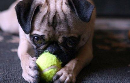 Любовь собак к теннисным мячикам