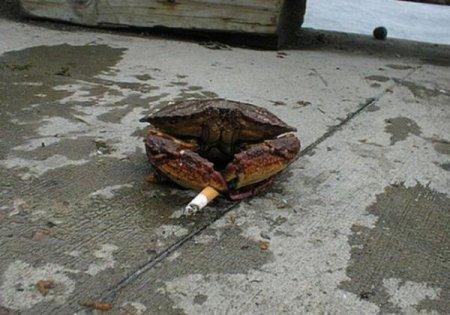 Курящие крабы