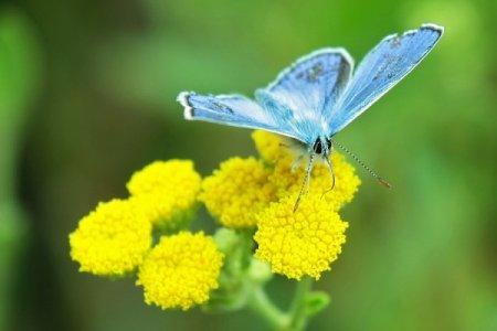 Бабочка-голубянка