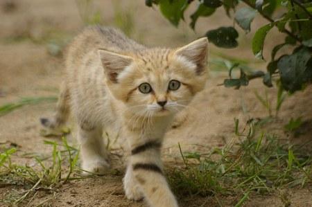 Ушастый котёнок