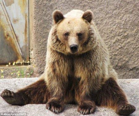 Урок йоги от бурого медведя