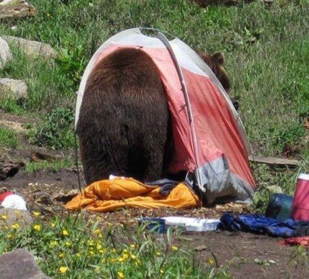 Когда медведь приходит в гости